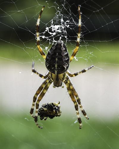 tryb makro pająk
