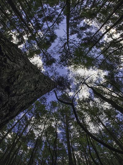 rybie oko drzewa sosny las